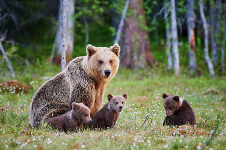 Foto de Mother bear protects her three little puppies in the finnish taiga - Imagen libre de derechos