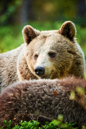Portrait of a beautiful brown bear frontally photographed in the Finnish taiga