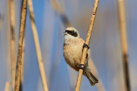 Photo pour The passirine bird Eurasian Penduline tit (Ramirez pendulinus), in a reed. - image libre de droit