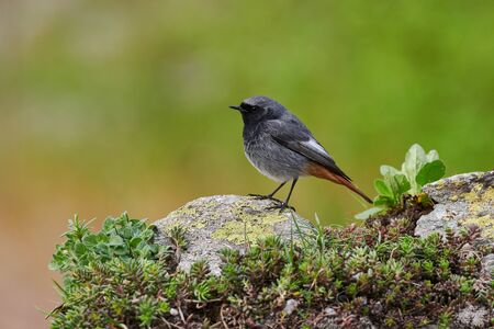 Photo pour Black redstart (Phoenicurus ochruros) is a litttle and  beautiful bird of the family of Muscicapidae - image libre de droit