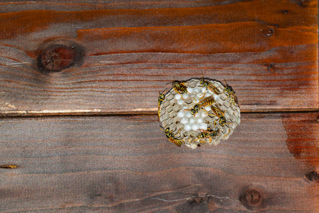 wasps' nest under a wooden roof. Wasps are closing larva's cells