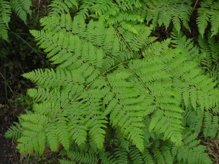 Fern Pteridium aquilinum - leaf in forest