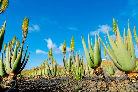 Plantation of medicinal aloe vera plant in the Canary Islands