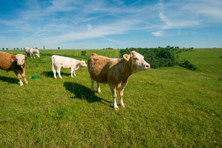 Cows graze in a green meadow on a sunny summer day