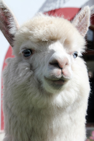 White Llama close-up. Alpaca (vicuna pacos) with blue eyes