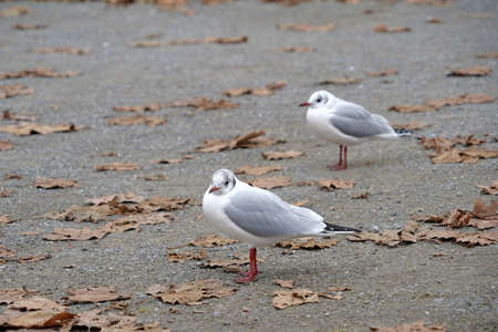 Photo for Two seagulls looking at different directions standing on cement ground with a lot of copy space. There are dry leaves scattered sparsely on the ground. Harbor or pier scene on late autumn day. - Royalty Free Image