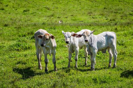 Foto de Three calves in the green pasture (Fortuna River - Brazil) - Imagen libre de derechos