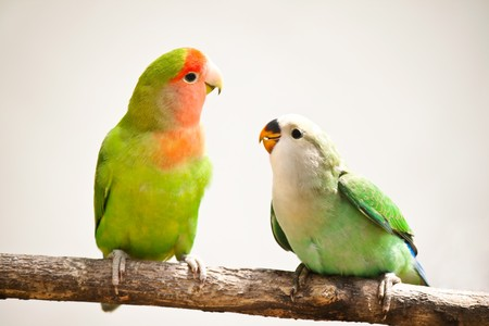 closeup of a peach-faces lovebird sitting on a tree branch