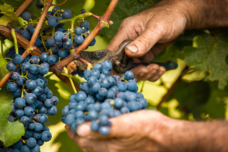 grape harvest close up hands