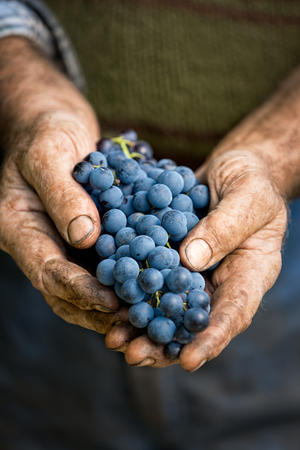 Foto für Farmers hands with cluster of grapes, farming and winemaking concept - Lizenzfreies Bild
