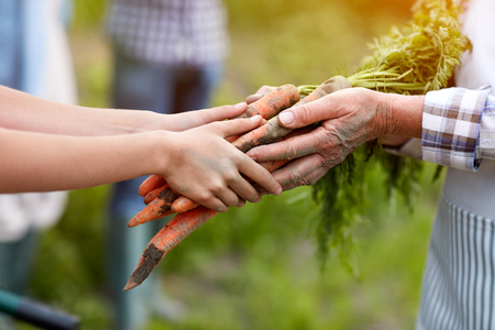 Close up of old and young hands holding carrots from garden