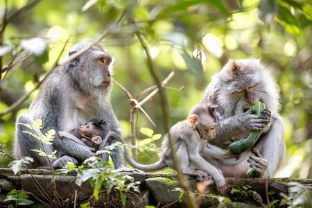 Photo pour Monkey family in Sacred monkey forest, Bali, Indonesia. - image libre de droit