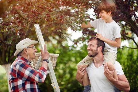 Photo pour cute caucasian kid picking cherries with his dad and grandpa - image libre de droit