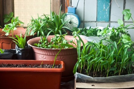 Photo for Cosy balcony garden with corn seedling and flowers - Royalty Free Image