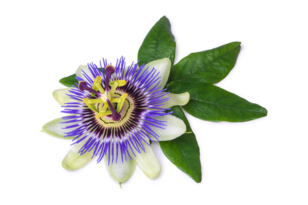 Photo pour Passiflora passionflower isolated on white background. Big beautiful flower - image libre de droit