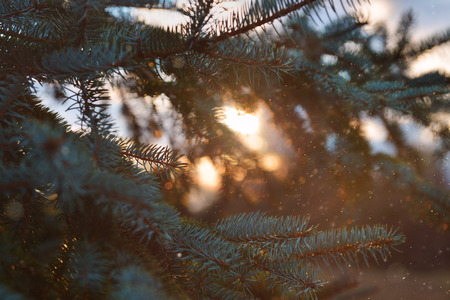 Nature, fir branches, mood, soft focus, ambiance, ambient photo, New Year, sunset, orbs, soft focus