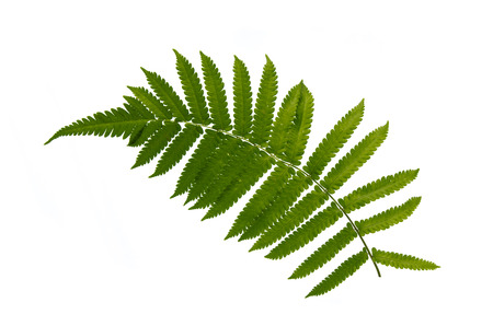 Close up of fern on white background isolatedの写真素材