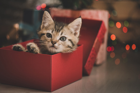 Foto de Cute tabby kitten playing in a gift box with Christmas decoration - Imagen libre de derechos
