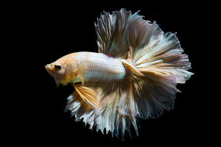 Photo for Gold betta fish, siamese fighting fish on black background isolated - Royalty Free Image