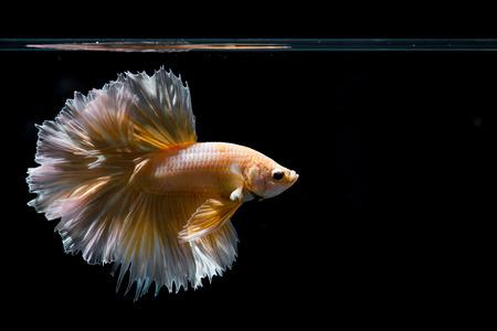 Foto de Gold betta fish, siamese fighting fish on black background - Imagen libre de derechos