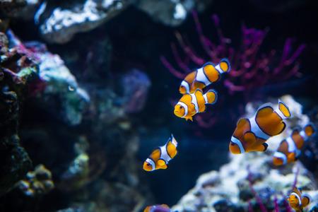 Photo pour Close up of Clownfish In Marine Aquarium - image libre de droit