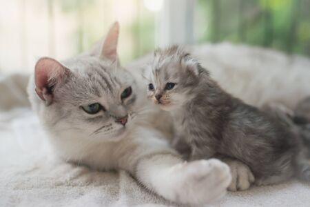 Photo pour American shorthair cat hugging her kitten with love - image libre de droit