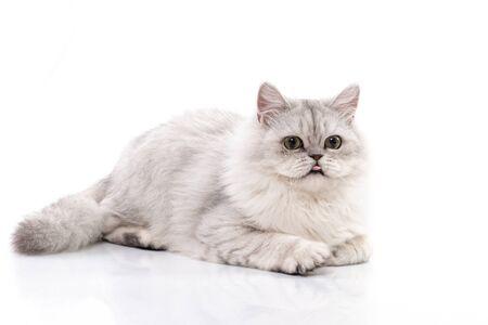 Photo pour Persian cat  Stick out tongue on white background,isolated - image libre de droit