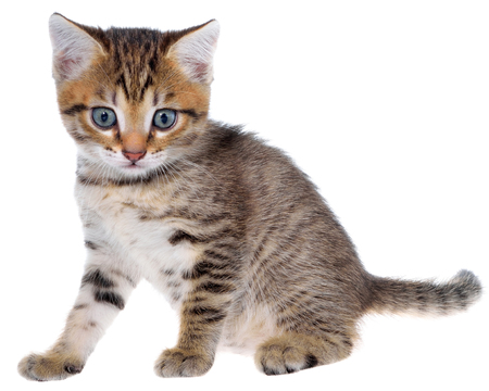 Shorthair brindled kitten isolated on a white background.