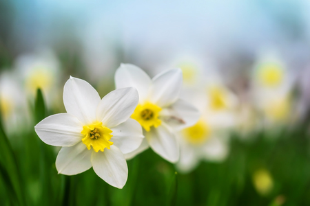 Photo for Spring flower narcissus close-up in the garden - Royalty Free Image