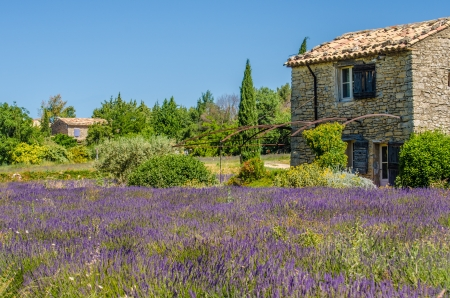 blooming lavender in a field  Provence, France