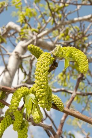 nogal en primavera