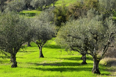 Photo pour Olive trees - image libre de droit