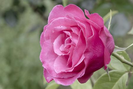 primer plano de petalos de rosa