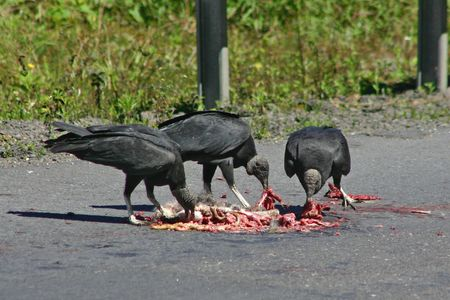 Black Vulture (Coragyps Atratus) eating a dead animal