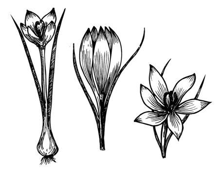 Illustration pour Saffron crocus flower vector sketch drawing. Hand drawn herb and food spice. Engraved vintage flavor. Crocus botanical sketch. Great for packaging design, label, icon. - image libre de droit