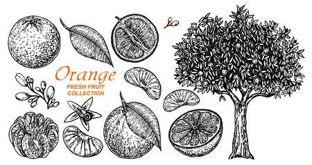 Illustration pour Vector set oranges hand drawn sketch. Hand drawn set of different kinds of citrus fruits. Food elements collection for design, Orange tree. Vector illustration. - image libre de droit