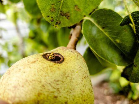 Foto für Close up of wasp climbing into a pear - Lizenzfreies Bild
