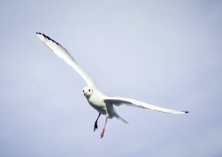 Photo for Flying bird - a single seagull with wings wide spread against pale blue sky - Royalty Free Image