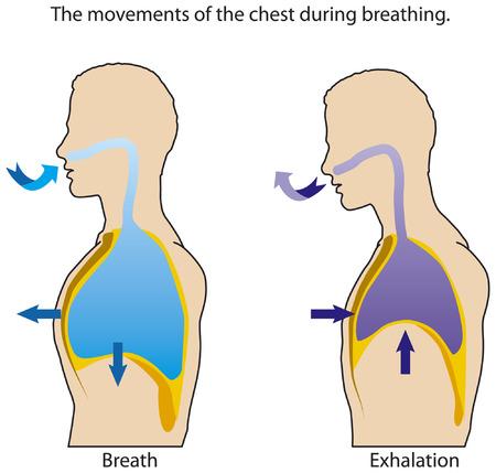 Illustration pour The movements of the chest when breathing. - image libre de droit