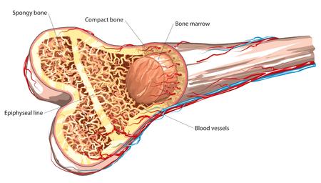 Ilustración de Long bone structure - Imagen libre de derechos