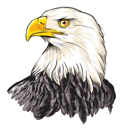 Illustration for Bald eagle (Haliaeetus leucocephalus) - Royalty Free Image