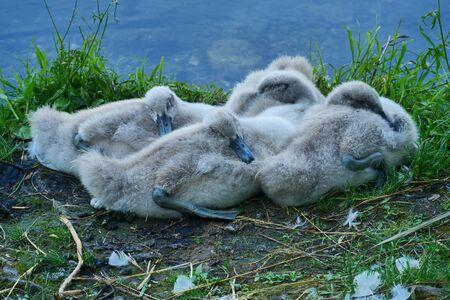 Foto de Baby swans along Adda river in Trezzo, Lombardy, Italy - Imagen libre de derechos