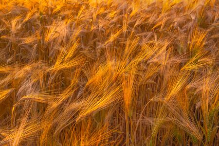 Dry wheat field, drought conditions with heat