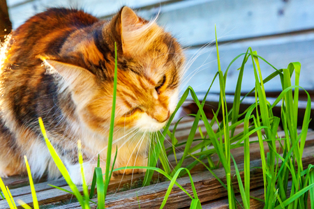 Foto per Arrogant short-haired domestic beautiful tabby cat eating fresh green grass oats. Natural hairball treatment. Pet care health and animals concept - Immagine Royalty Free