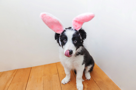 Foto de Happy Easter concept. Funny portrait of cute smilling puppy dog border collie wearing easter bunny ears indoor at home. Preparation for holiday. Spring greeting card - Imagen libre de derechos