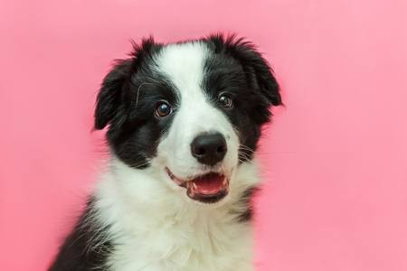 Photo pour Funny studio portrait of cute smilling puppy dog border collie isolated on pink pastel background. New lovely member of family little dog gazing and waiting for reward. Pet care and animals concept - image libre de droit