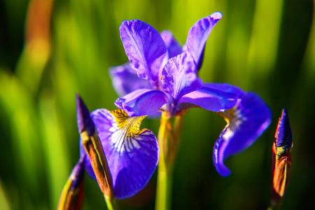 Photo for Flower bed with purple irises and blurred bokeh background. Inspirational natural floral spring or summer blooming garden or park. Colorful blooming ecology nature landscape - Royalty Free Image