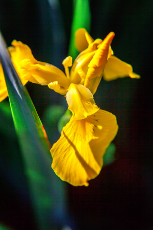 Photo for Flower bed with yellow irises and blurred bokeh background. Inspirational natural floral spring or summer blooming garden or park. Colorful blooming ecology nature landscape - Royalty Free Image