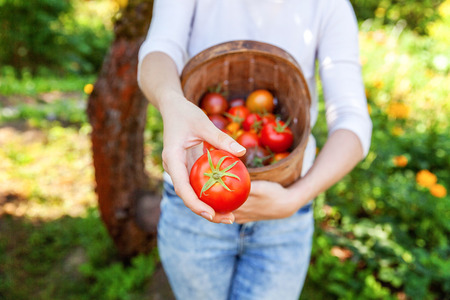 Photo pour Gardening and agriculture concept. Young woman farm worker hands holding basket picking fresh ripe organic tomatoes in garden. Greenhouse produce. Vegetable food production - image libre de droit
