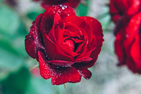 Photo pour Beautiful red rose flowers with drops after rain in summer time. Background with flowering scarlet roses. Inspirational natural floral spring blooming garden or park. Ecology nature concept - image libre de droit